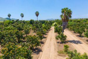 Palo Escopeta Mango Farm - San Jose Del Cabo